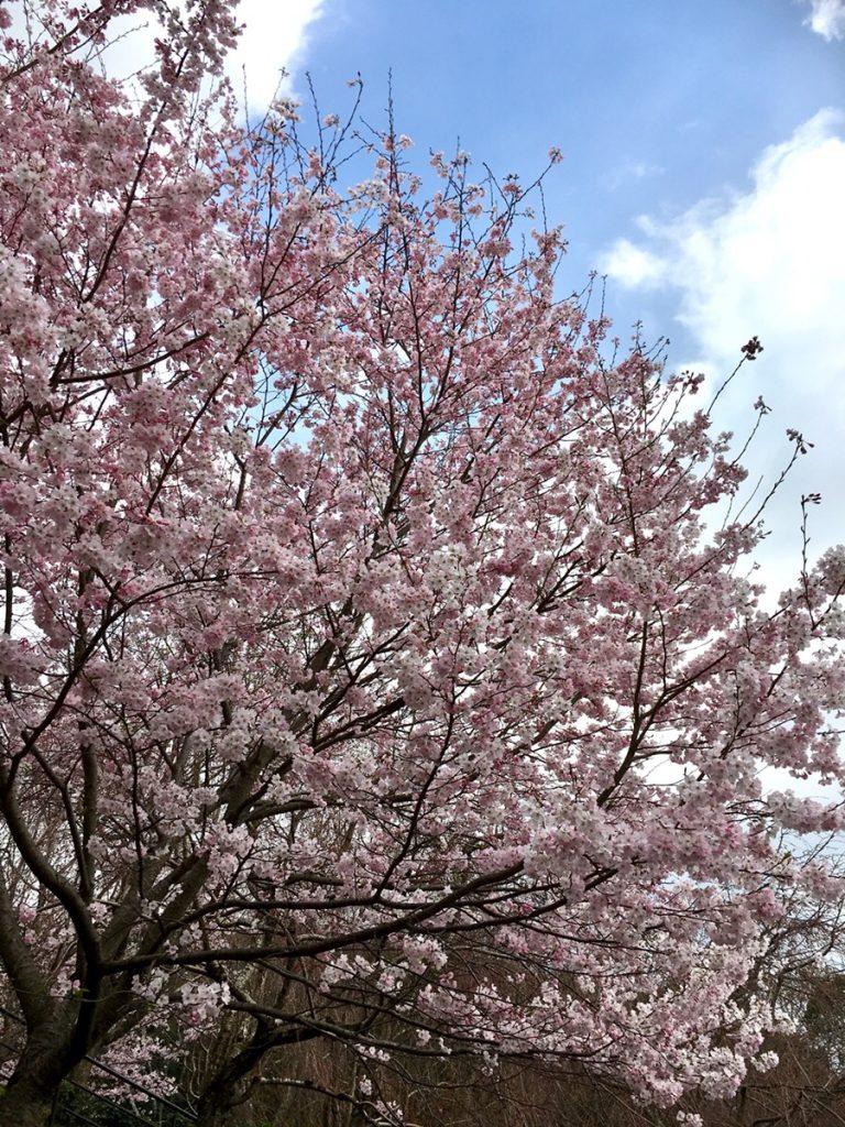 桜 穴場スポット